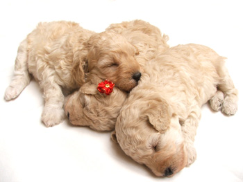 Sweet little puppies sleeping.